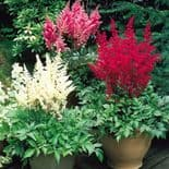 4  Ready Potted 1 Litre Pot  ASTILBE  MIXED