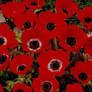 Anemone De Caen- Hollandia (red)