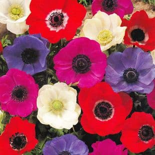 Anemone De Caen-Mixed Colours