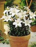 APOLLO DWARF  ASIATIC LILY