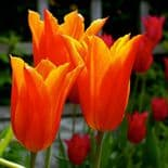 BALLERINA LILY- FLOWERING TULIPS