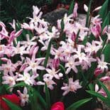 CHIONODOXA LUCILIAE (GLORY OF THE SNOW) PINK GIANT