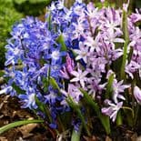 CHIONODOXA MIXED LUCILIAE (GLORY OF THE SNOW) BRIGHT BLUE & PINK, WHITE-EYED BLOOMS