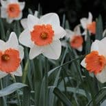 CHROMACOLOR LARGE-CUPPED NARCISSI