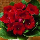 DEFIANCE GLOXINIA   BULBS/CORMS