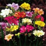 DOUBLE FREESIA RAINBOW MIXTURE