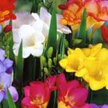 EXTRA LARGE bulbs SINGLE FREESIA RAINBOW MIXTURE