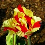 FLAMING PARROT PARROT TULIPS