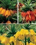 FRITILLARIA  MIXED ( 1 RED, 1YELLOW, 1 ORANGE ) (Crown Imperial) Bulbs
