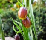 FRITILLARIA  UVA-VULPIS (FOX'S GRAPE)