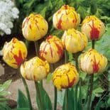 GOLDEN NIZZA   DOUBLE LATE (PAEONY FLOWERED) TULIPS