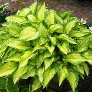 HOSTA ALBOPICTA PLANTAIN LILY