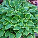 HOSTA GOLDEN TIARA PLANTAIN LILY