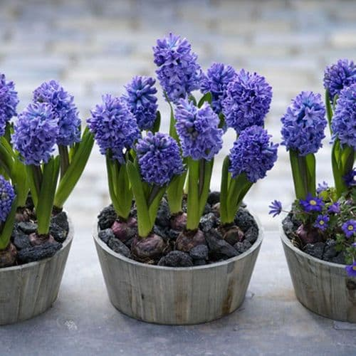 Hyacinth -POTTED Delft Blue CHRISTMAS FLOWERING