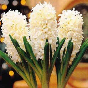 Hyacinth -POTTED  L'INNOCENCE CHRISTMAS FLOWERING