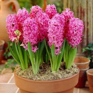Hyacinth - POTTED PINK PEARL CHRISTMAS FLOWERING