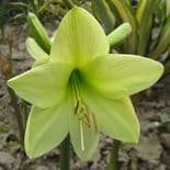 Indoor Amaryllis Hippeastrum - Green Goddess