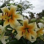 MISTER CAS  ORIENTAL TRUMPET LILY (TREE LIKE LILY)