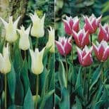 MIXED CLAUDIA & TRES CHIC LILY- FLOWERING TULIPS 5 of each colour