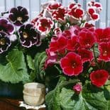 MIXED GLOXINIA   BULBS/CORMS