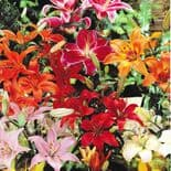 MIXED  Oriental Lily