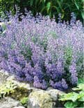 NEPETA FAASSINII WALKERS LOW CATMINT
