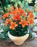 ORANGE PIXIE DWARF  ASIATIC LILY