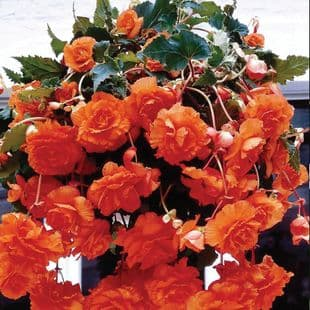 ORANGE TRAILING BEGONIA