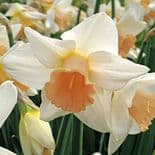 PASSIONALE LARGE CUPPED (WHITE)DAFFODIL
