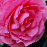 PINK DOUBLE BEGONIA