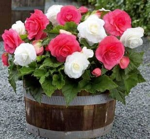 PINK & WHITE  DOUBLE BEGONIA