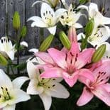 PINK & WHITE MIX ASIATIC LILY