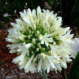 POTTED  AGAPANTHUS ALBA  (LILY OF THE NILE)