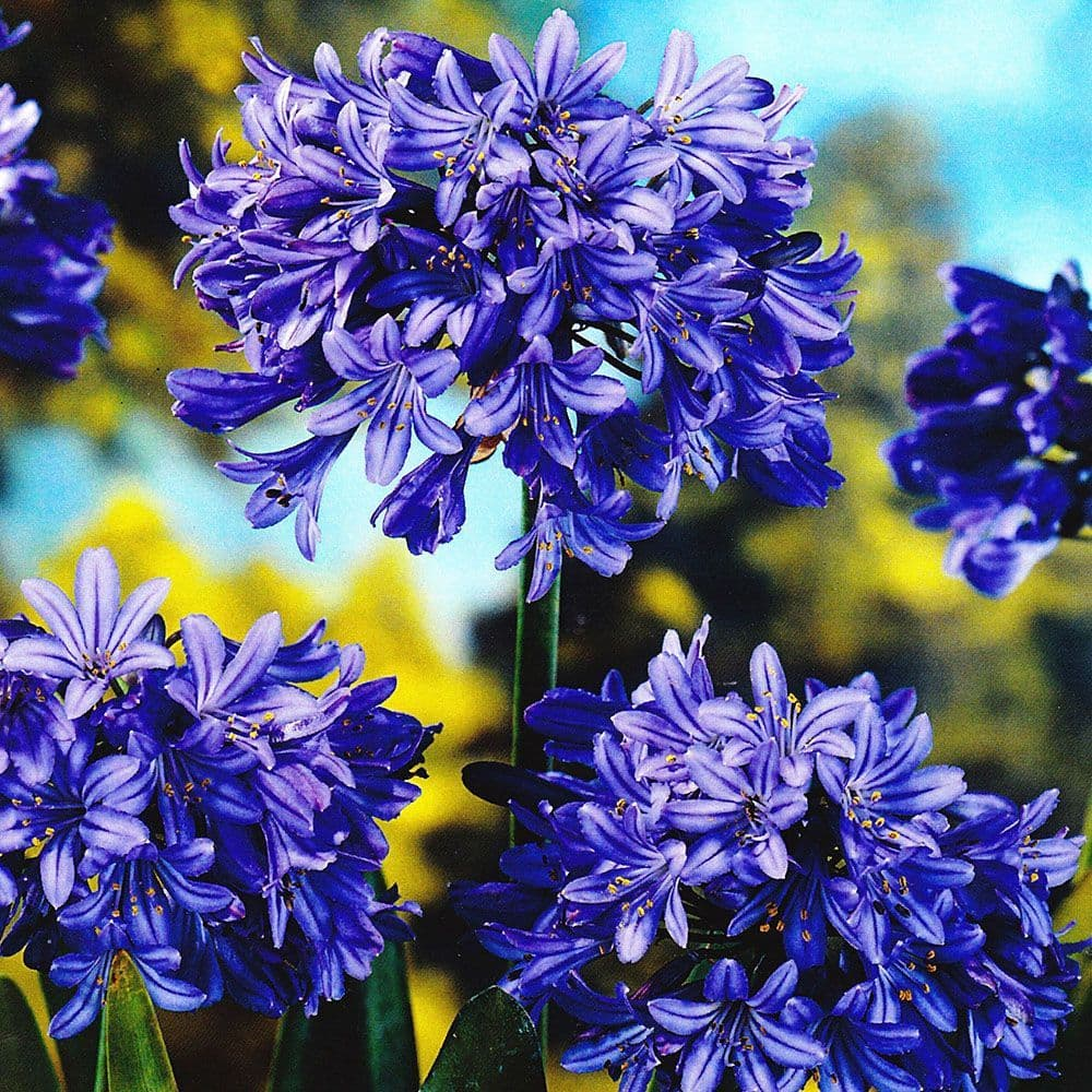 POTTED  AGAPANTHUS BLUE (LILY OF THE NILE)