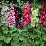 POTTED ALCEA ROSEA HOLLYHOCKS MIXED