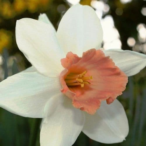 POTTED PINK PRIDE  LARGE-CUPPED NARCISSI