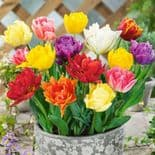 RAINBOW MIXTURE DOUBLE EARLY TULIPS
