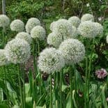 READY POTTED 1 LITRE POT  ALLIUM MOUNT EVEREST
