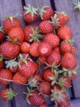 Ready Potted 1 Litre Pot   CAMBRIDGE FAVOURITE  STRAWBERRY PLANTS