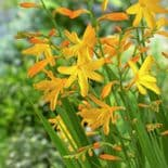 Ready Potted 1 Litre Pot  CROCOSMIA GEORGE DAVISON