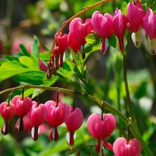 Ready Potted 1 Litre Pot   DICENTRA SPECTABILIS BLEEDING HEART