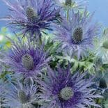 Ready Potted 1 Litre Pot   ERYNGIUM BLUE STAR SEA HOLLY