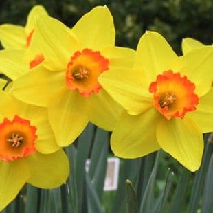 Ready Potted 1 Litre Pot   FORTUNE LARGE CUPPED DAFFODIL