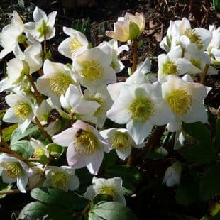 Ready Potted 1 Litre Pot   HELLEBORUS NIGER CHRISTMAS ROSE
