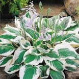 Ready Potted 1 Litre Pot   HOSTA PATRIOT PLANTAIN LILY