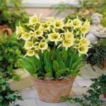 Ready Potted 1 Litre Pot   HYMENOCALLIS SULPHUR QUEEN (ISMENE)