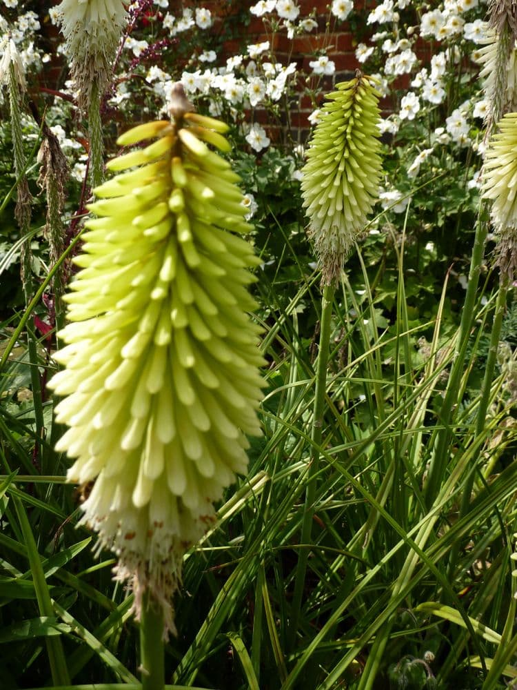 Ready Potted 1 Litre Pot   KNIPHOFIA ICE QUEEN RED HOT POKER