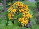 Ready Potted 1 Litre Pot   LIGULARIA DENTATA OTHELLO