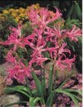 Ready Potted 1 Litre Pot   NERINE BOWDENII