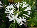 Ready Potted 1 Litre Pot   NERINE BOWDENII ALBA